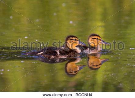 Alaska. Mallard (Anas platyrhynchos) ducklings swimming in Cheney lake, Anchorage. - Stock Photo