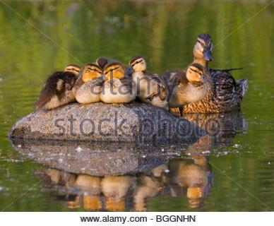 Alaska. Mallard (Anas platyrhynchos) hen with ducklings resting on a rock in Cheney lake, Anchorage. - Stock Photo