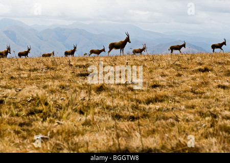 Blesbok herd in the mountains of Swaziland - Stock Photo