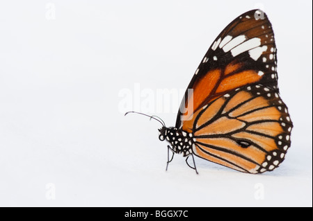 Danaus genutia. Striped tiger butterfly / Common tiger butterfly on a white background. India - Stock Photo