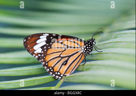 Danaus genutia. Striped tiger butterfly / Common tiger butterfly resting on a palm leaf in the indian countryside. - Stock Photo