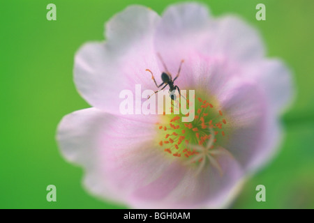 Ant on a portulaca flower.