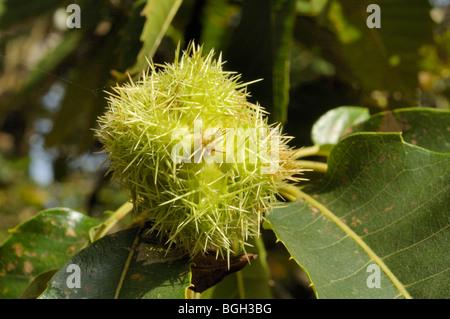 Sweet Chestnut, castanea sativa, fruits - Stock Photo