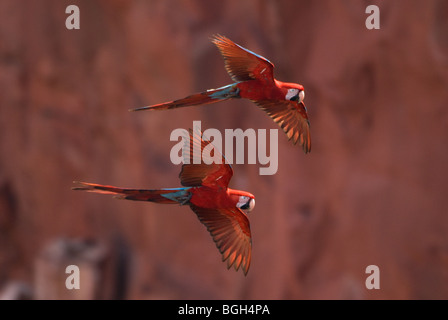 Red-and-green Macaws in flight - Stock Photo