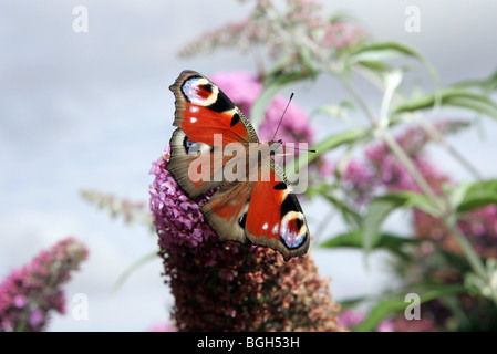 The Red Admiral or Vanessa atalanta (previously also known as Pyrameis atalanta) is a well-known colourful butterfly. - Stock Photo