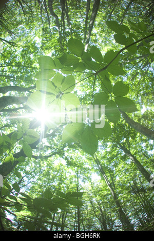 Sunlight shining through branches in a beech forest Mt. Hakkoda Aomori Prefecture Japan - Stock Photo