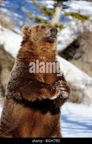 Grizzly bear (Ursus arctos) - captive in winter habitat - Stock Photo