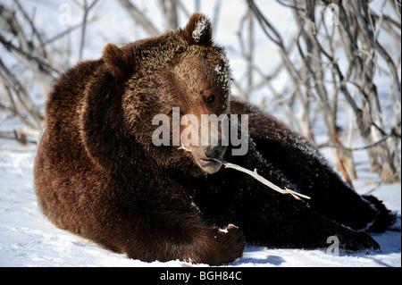 Grizzly bear (Ursus arctos) - captive in late winter habitat - Stock Photo