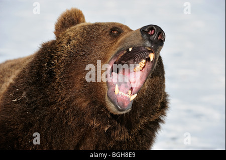 Grizzly bear (Ursus arctos) - captive snarling - Stock Photo