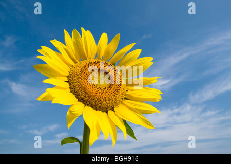 Sunflower and a blue sky - Stock Photo