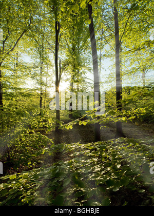 SUN STREAMING THROUGH BEECH TREES IN THE FOREST OF DEAN UK - Stock Photo