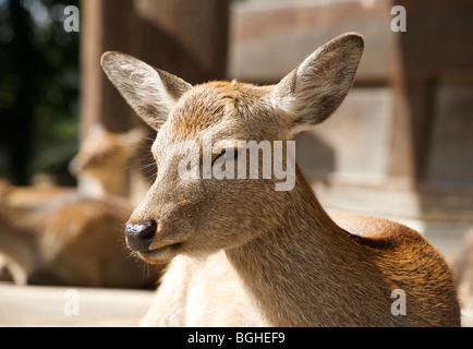 Deer roam free in Central Nara. The grounds of Nara park, Japan - Stock Photo