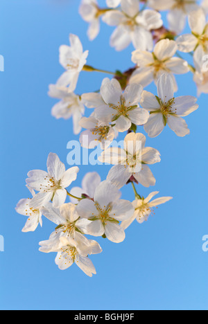 Flower of apple on natural blue sky background. - Stock Photo