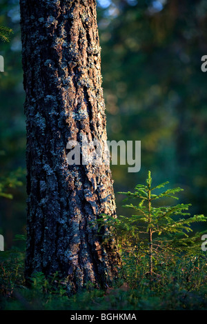 Fully grown pine ( Pinus sylvestris ) tree and a small sapling besides it - Stock Photo