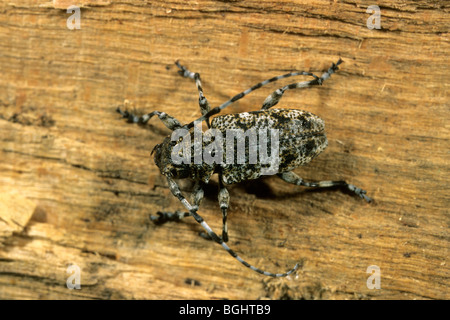 Longhorn Beetle (Aegomorphus clavipes, Acanthoderes clavipes), female on beech wood. - Stock Photo