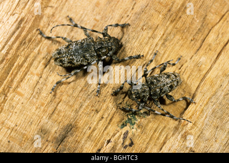 Longhorn Beetle (Aegomorphus clavipes, Acanthoderes clavipes), male and female on beech wood. - Stock Photo