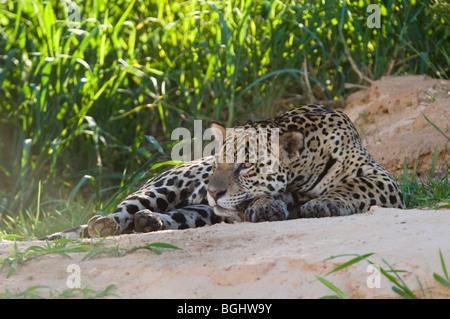 Jaguar Panthera onca - Stock Photo