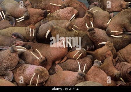 Male walruses basking on Round Island, Walrus Islands State Game Sanctuary, Alaska, USA - Stock Photo