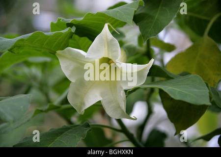 Angel Trumpet, Angel's Trumpet Tree or Datura, Brugmansia arborea, Solanaceae, Tropical South America. - Stock Photo