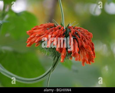 Dombeya, Dombeya burgessiae, Malvaceae (Sterculiaceae), Central South Africa - Stock Photo