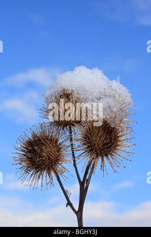 Close up of seed heads and snow. Surrey, England, UK. - Stock Photo