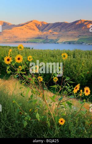 Sunflowers near Lake Chelan in eastern Washington state - Stock Photo