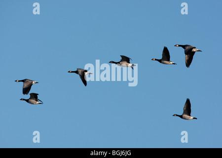 Barnacle goose, Branta leucopsis, flock in flight at Caerlaverock on the Solway, Dumfries and Galloway, Scotland, - Stock Photo