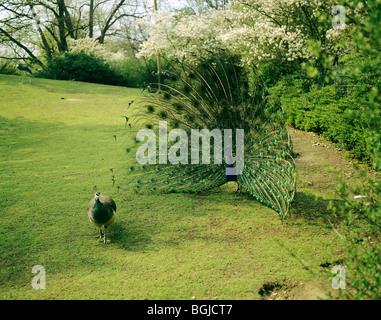 Indian Peafowl - displaying / Pavo cristatus - Stock Photo
