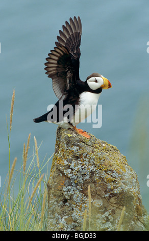 Horned Puffin - standing on a rock / Fratercula corniculata - Stock Photo