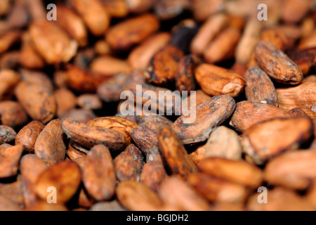 Cacao seeds (Theobroma cacao) - Stock Photo