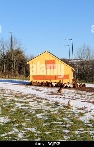 Happy Free Range Chickens  in the snow Carmarthenshire Wales Cymru UK GB - Stock Photo