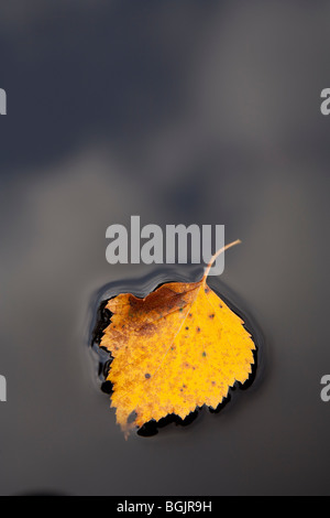 One yellow birch leaf floating on black water surface - Stock Photo