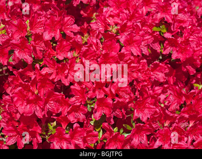 Rhododendron Hino Red - Stock Photo