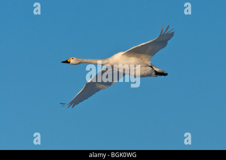 Adult Bewick's Swan (Cygnus columbianus) in flight, Welney WWT, Norfolk - Stock Photo