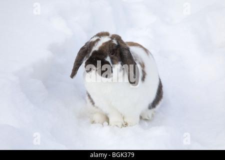 Holland Lop pet dwarf rabbit outdoors in backyard  in winter - Stock Photo