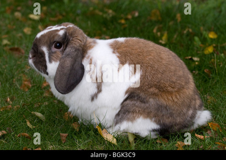Holland Lop pet dwarf rabbit outdoors on lawn in autumn - Stock Photo