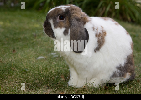 Holland Lop pet dwarf rabbit outdoors on lawn in summer - Stock Photo