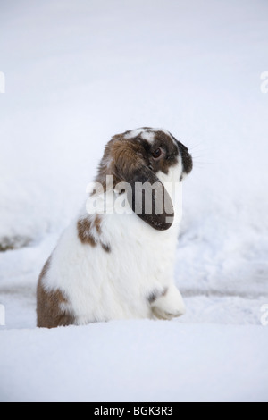 Holland Lop pet dwarf rabbit outdoors in winter - Stock Photo