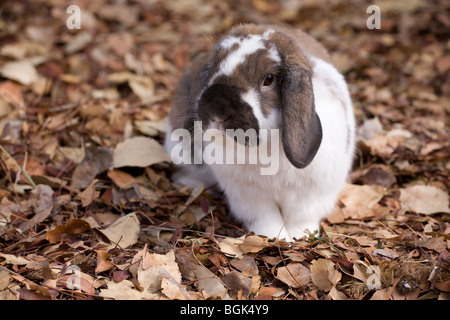 Holland Lop pet dwarf rabbit outdoors on fallen leaves in autumn - Stock Photo