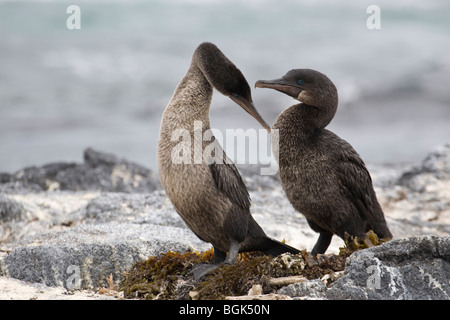 Flightless Cormorant (Phalacrocorax harrisi) courtship behaviour - Stock Photo