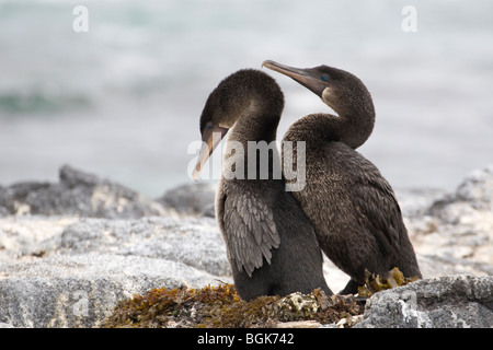 Flightless Cormorant  (Phalacrocorax harrisi) courtship - Stock Photo
