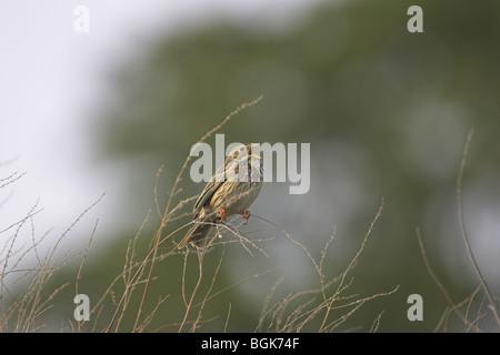 Corn Bunting Miliaria calandra perched on branch and singing at Kalloni Inland Lake, Lesvos, Greece in April. - Stock Photo