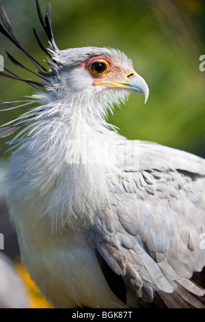 Tampa FL - Nov 2008 - Secretary Bird (sagittarius serpentarius) in captivity at Lowry Park Zoo in Tampa, Florida - Stock Photo