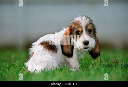 Cute Grand Basset Griffon Vendeen pup sitting outside on lawn in garden, dog breed from France - Stock Photo