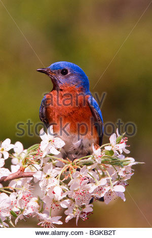 The Eastern Bluebird, Sialia sialis, is a medium-sized thrush found in open woodlands, farmlands and orchards. - Stock Photo
