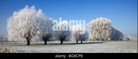 Pollard willows (Salix sp.) and poplars (Populus sp.) covered in hoarfrost in winter, Belgium - Stock Photo