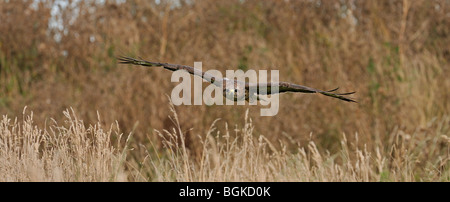 Common buzzard (Buteo buteo) flying over meadow in England, UK - Stock Photo
