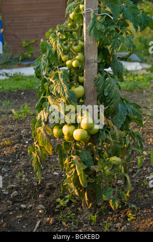 Tomatoes (Solanum lycopersicum) growing up a bamboo cane on an allotment plot - Stock Photo