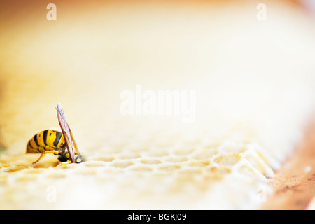 Wasp raiding honeycomb in a beehive - Stock Photo