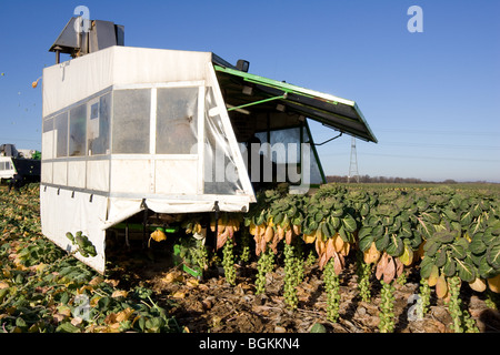 A Machine Harvesting Brussel Sprouts In The Lincolnshire Fens - Stock Photo